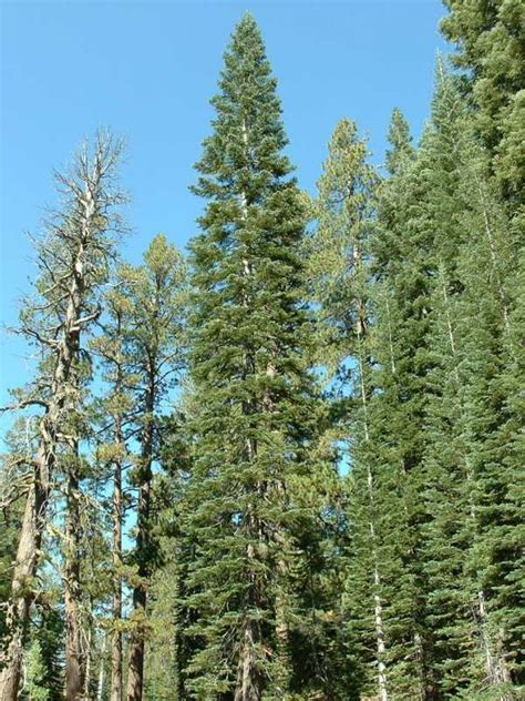 calphotos abies magnifica var magnifica california red fir
