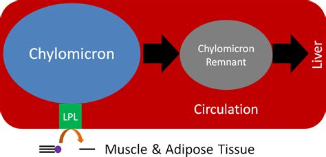 chylomicron nutrition lipase lipoprotein triglyceride breakdown lipoproteins fatty lipolysis triglycerides formation figure remnant lpl forming flexbook acids cleaves
