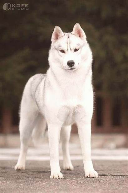 Husky Puppies Dog Dogs Siberian Brown Perros