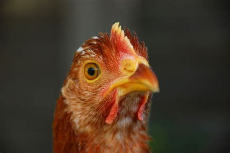 fda approves genetically modified chicken