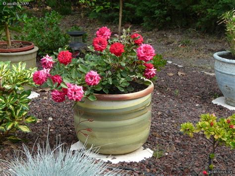 rosier nain en pot rosier nain en pot 28 images n 233 on rosier rigo en pot fleurs en bouquets vif tr 232 s