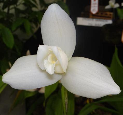 monja blanca flor nacional de guatemala orqu 237 dea cultiv