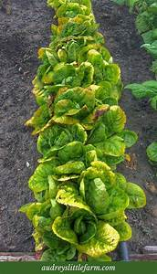 How To Thin Lettuce Seedlings In 2020