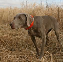breed profile the golden retriever gun dog magazine