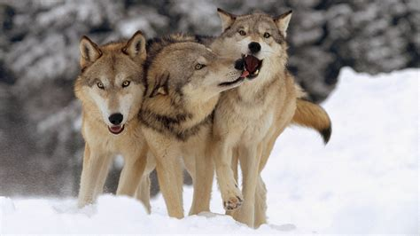 wolves   team players  dogs science aaas