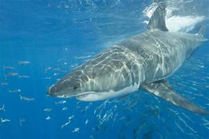 Facts About Sharks And Rays Biology Habits Attacks