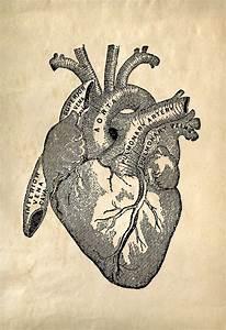 Vintage Anatomy Heart Print  Cardiovascular Vintage