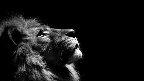 sfondo leone bianco  nero wallpaper donnatomica