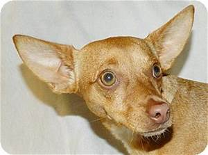 Umatilla, FL - Chihuahua/Miniature Pinscher Mix. Meet ...
