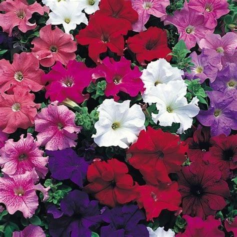 when to plant petunias seasonal flowering plants petunias mi jard 237 n so 241 ado pinterest