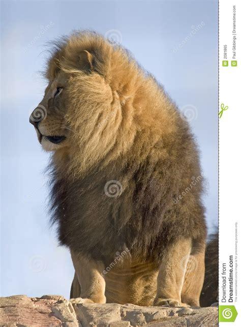 proud lion stock image image  king captive  lion