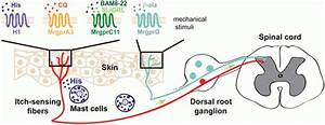 Role Of The Mrgpr Receptor Family In Itch