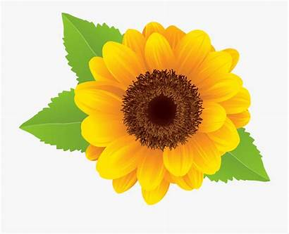Sunflower Clipart Background Transparent Clip Flower Resolution