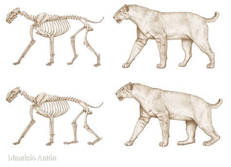 homotherium smilodon plantigrade digitigrade track species bipedal sapient res low humans mauricio last walk they hypothetical typically toe tip wanted