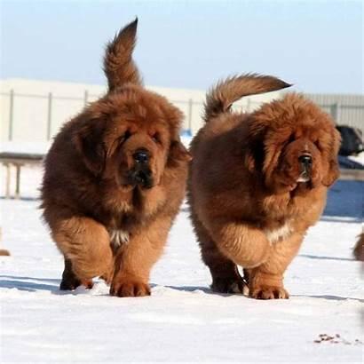 Mastiff Tibetan Person Signs Crazy Most Expensive