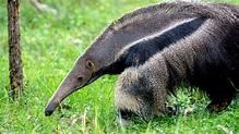 Giant Anteater - The Houston Zoo