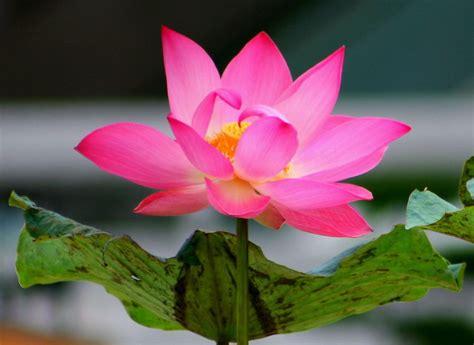 tattoo bunga lotus  filosofinya