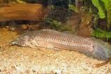 Factsheet: Callichthys callichthys