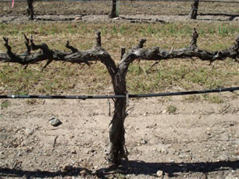 grape vines pruning when to do it and how spur pruning extension