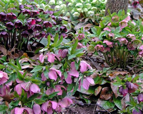 flowering perennials perennials to plant in fall for spring color hgtv