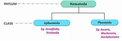 Nematoda Classification Phylum Aschelminthes Classes Nemathelminthes General