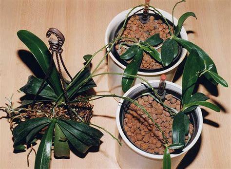 Orchideen Kindel Einpflanzen by 3760 Phalaenopsis Kindel Als Absenker