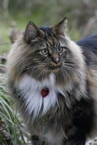 Maine Coon Cats Look Like