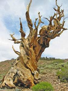 The Oldest Tree In The World - XciteFun.net