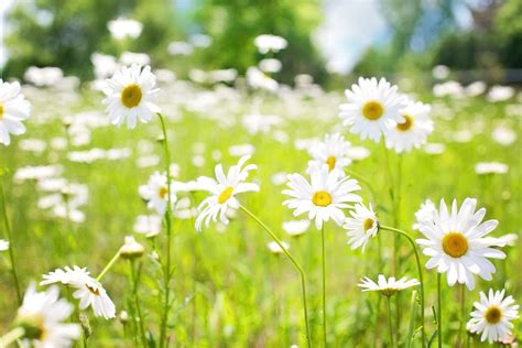 Daisies, Field, Nature, Summer Siphon Coffee Chicago Philippines Turkish Maker Gumtree Houston Yelp D Line Pot San Francisco Bay Area Roasters French Roast Pods Fresh Whole Bean
