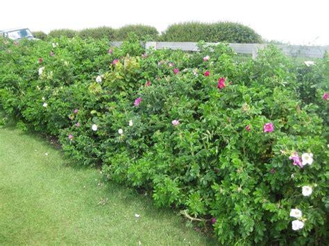wanneer krijgt een sering bloemen hagen in uw tuin www uwtuinleverancier nl