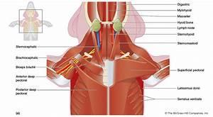 Wiring Diagram  35 Fetal Pig Muscle Diagram