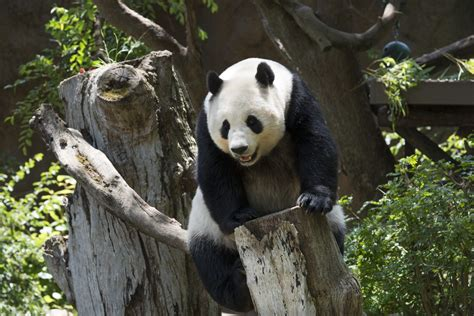 panda zoo diego san tif california park balboa file wikimedia commons wikipedia pixels