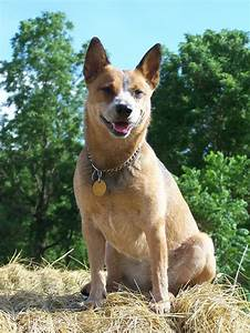 17 Best images about Blue & Red Heelers on Pinterest ...