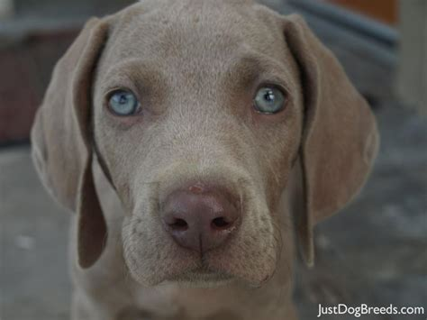 dogs that dont shed weimaraner capone weimaraner breeds