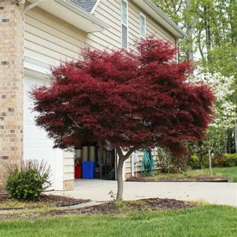 where to plant a japanese maple tree bloodgood japanese maple fresh garden decor