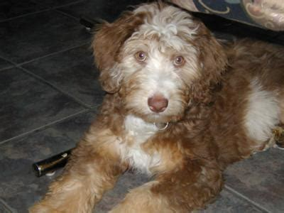 do f1 aussiedoodles shed about aussiedoodles aussiedoodle puppies for sale