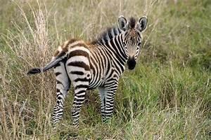 Zebra Foal - Brilliant Creation
