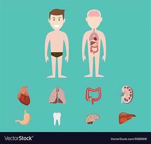 Human Anatomy Kidney
