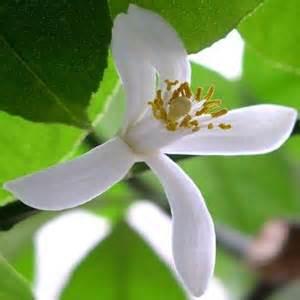 fiori limone dolcini di miele con fiori di limone