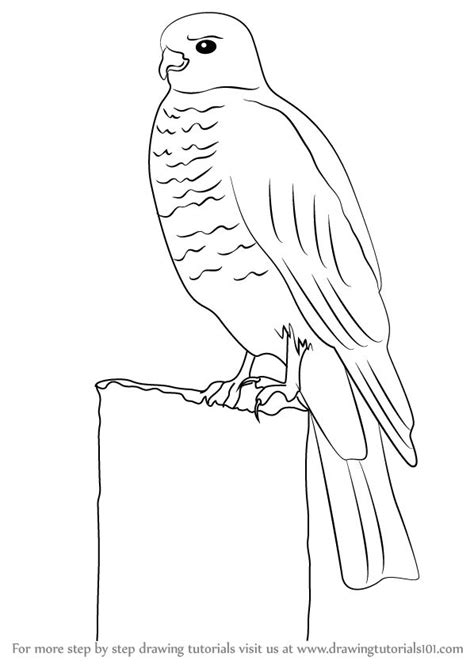 Learn How to Draw a Buzzard (Birds) Step by Step : Drawing