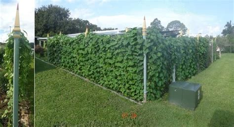 fast growing vines for pergola fast growing vine for privacy trellis
