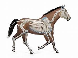 Cat Skeleton Veterinary Vector  Cat Osteology  Bones Stock