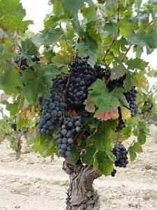 Achat Pied De Vigne Raisin De Table : l zignan corbi res croquis dessins pinterest pied de vigne cep de vigne et vignes ~ Nature-et-papiers.com Idées de Décoration