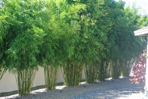 bamboo landscape plants clumping bamboo landscape privacy screen and decoration ideas