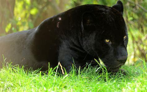 Black Panthers 25 Cool Hd Wallpaper