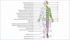 Dermatomes And Muscular Activity