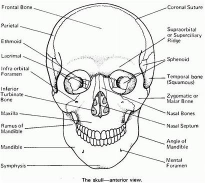 Anatomy Skull Coloring Bones Skeleton Worksheet Human