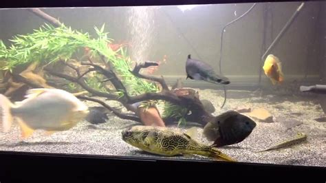 gallon river monster aquarium update youtube