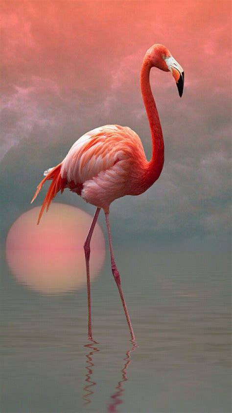 flamingo flamingos flamingo pictures flamingo bird