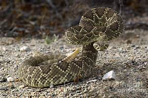 Mohave Green Rattlesnake Striking Position Photograph by ...